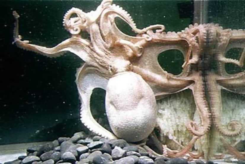 産卵する96本腕のタコ