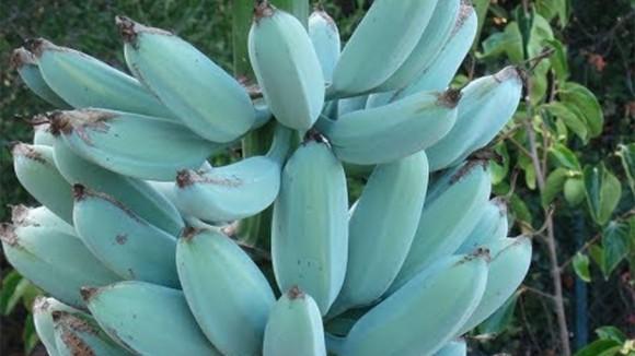 バナナなのにバニラアイス味!未熟果は青色のその名も「アイスクリームブルーバナナ」は日本でも育てられるしネット通販で苗木が買える