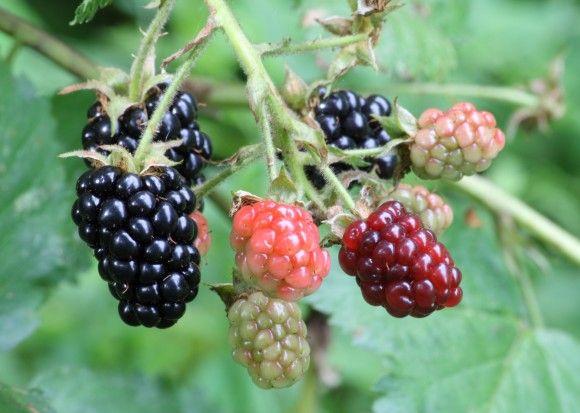 11blackberries_e