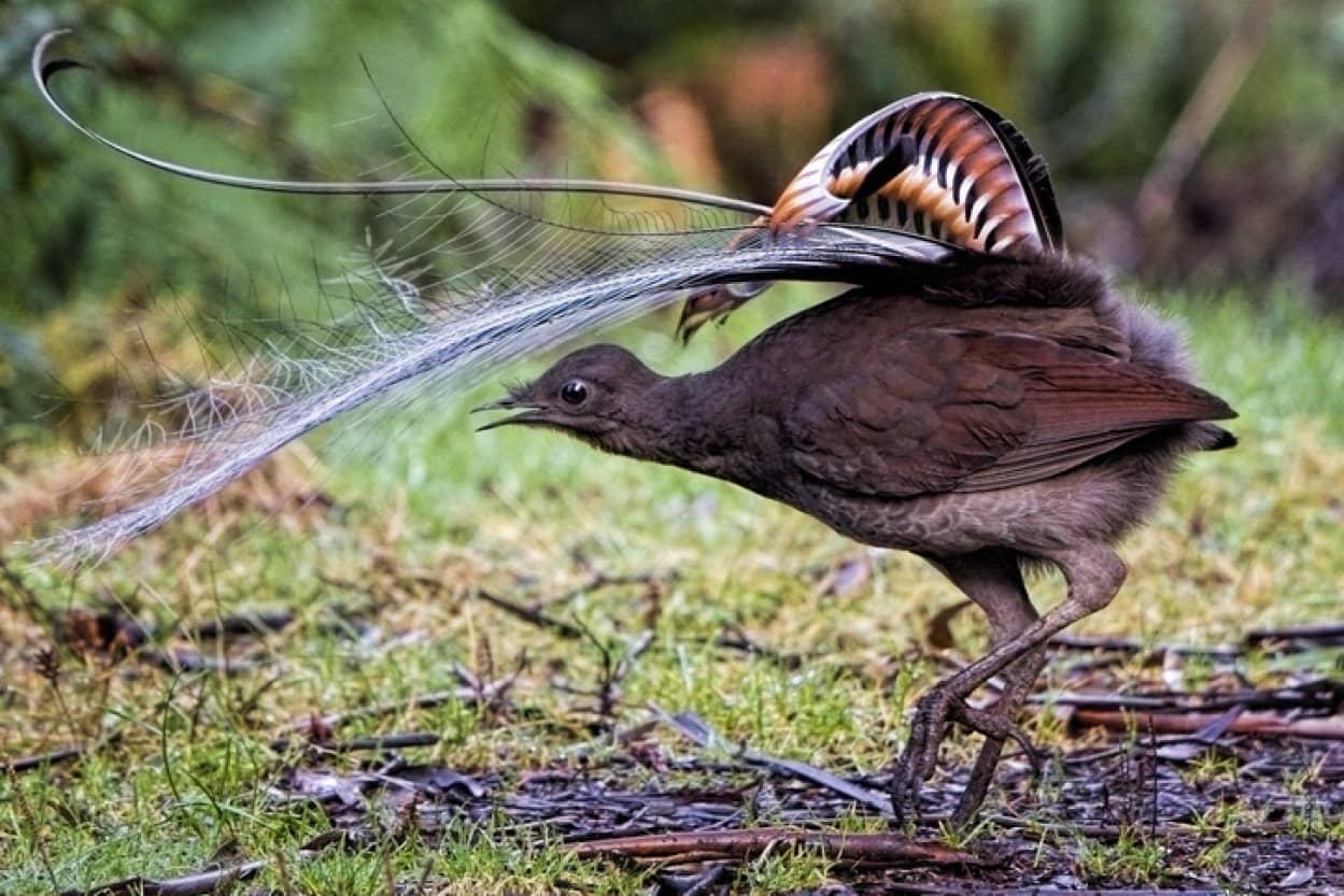 完コピですやん!赤ちゃんの泣き声からチェーンソーまで究極の再現度で音真似する鳥、コトドリ