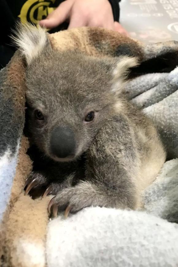 koala-5 [www.imagesplitter.net]