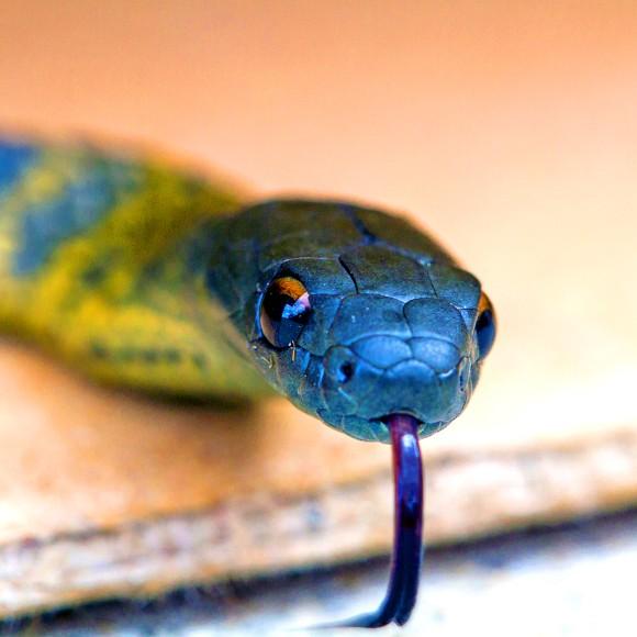 タイガースネークヘビ
