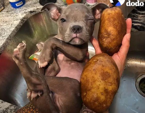 道端で拾われたジャガイモ2個分の小さな子犬の保護物語(アメリカ)