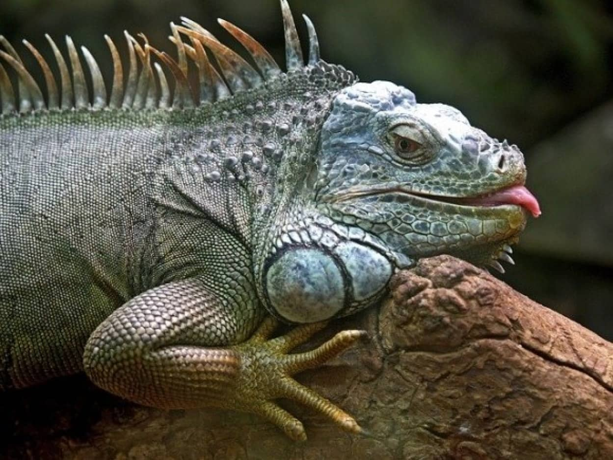 iguana-50198_640_e