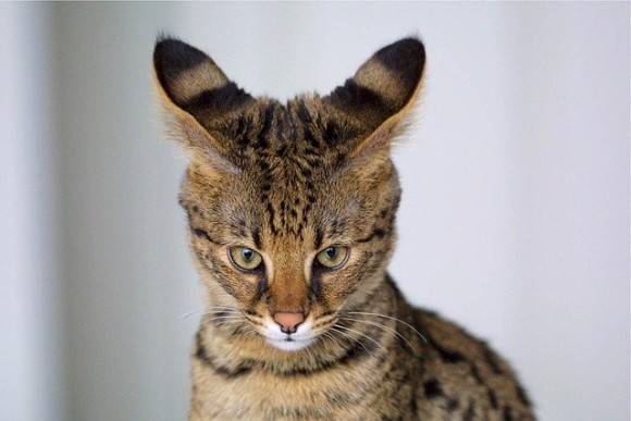 savannah-cat-518134_640_e