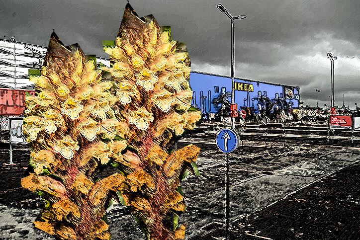 変種の寄生植物を駐車場で発見