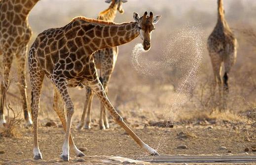 Giraffe-waterhole_1402384i