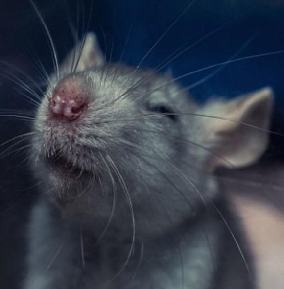 ネズミはくすぐると笑う(ドイツ研究)
