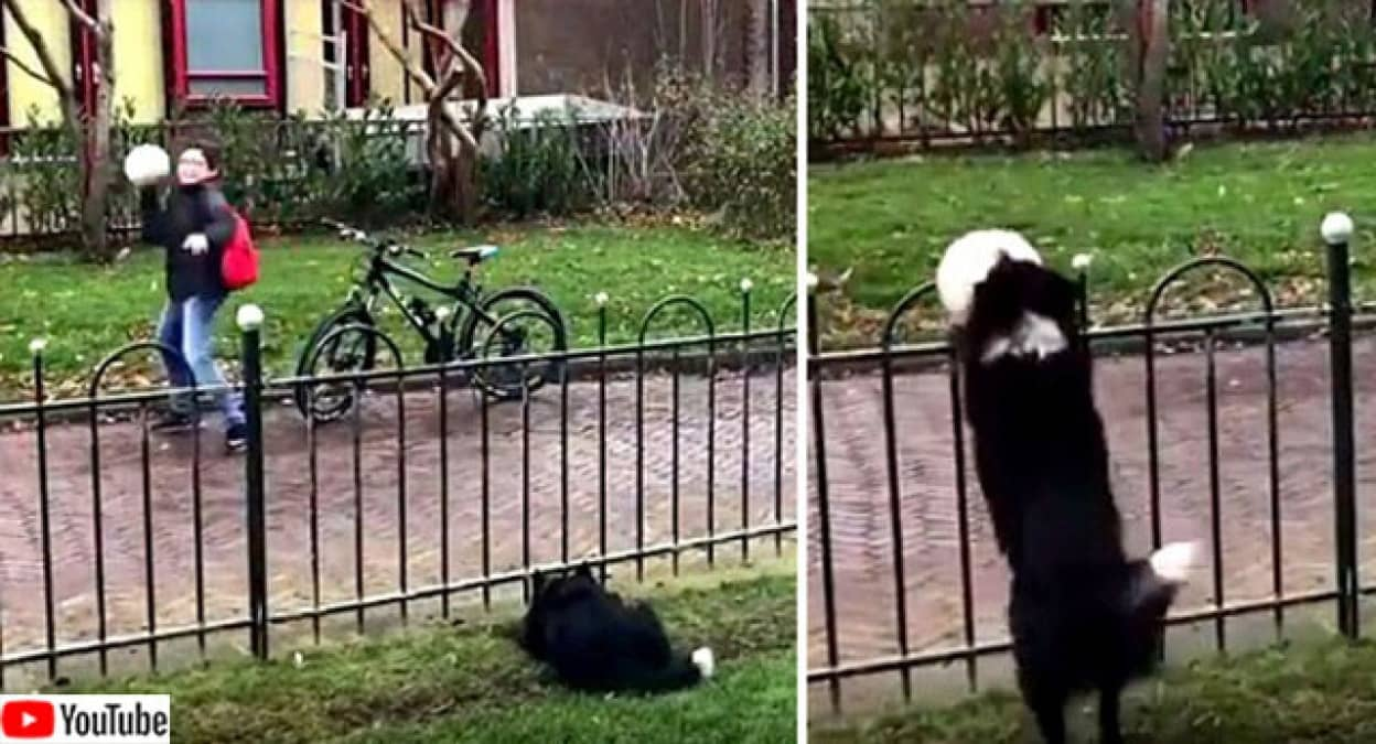 賢いボーダーコリー、フェンス越しから歩道にボールを投げて、通行人に投げ返してもらう遊びを覚えた