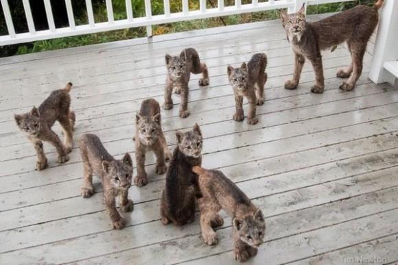 家のデッキでガサゴソ音。猫っぽいけど猫じゃない!オオヤマネコさん御一行がいらっしゃったんかーい!(米アラスカ)