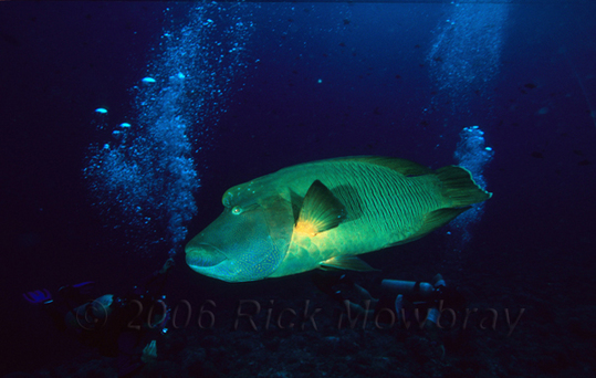 Pal_humphead_wrasse_divers