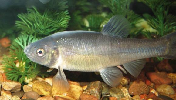 危ない、逃げて!化学物質を放出し、仲間に危険を知らせる魚(カナダ研究)