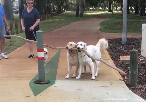 一緒ならうまくいくよ!長すぎる棒が運べない犬を助ける犬