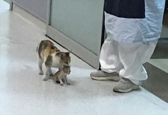 猫が人間の病院に子猫を運ぶ