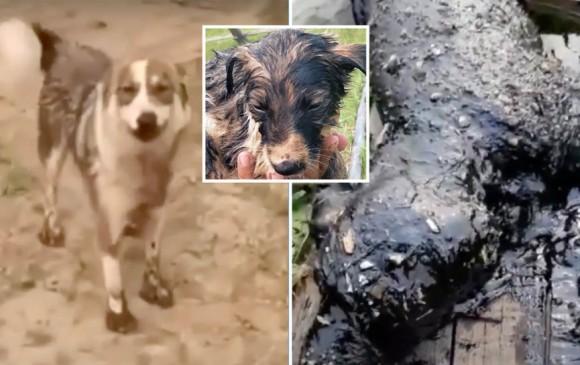 油まみれの我が子を救ってもらおうと、人間に必死で助けを求めた母犬(ロシア)