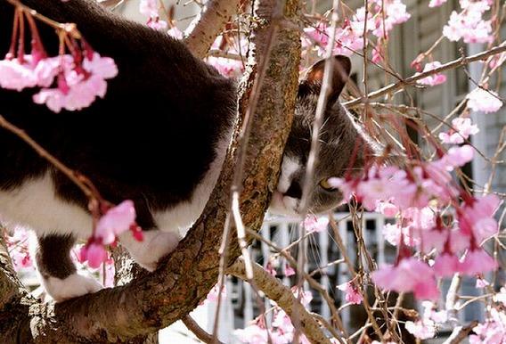 cherry_blossom_tree_cats_18
