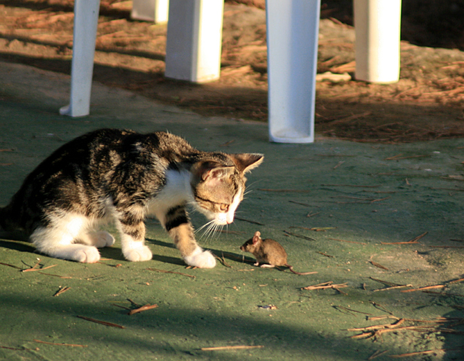 ネズミの大増殖を止めるため、猫1000匹以上が市内に放たれる(アメリカ・シカゴ)