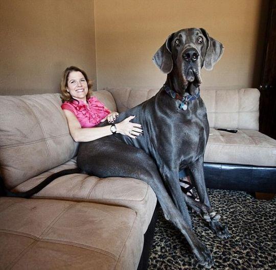 Worlds_Tallest_Dog_08