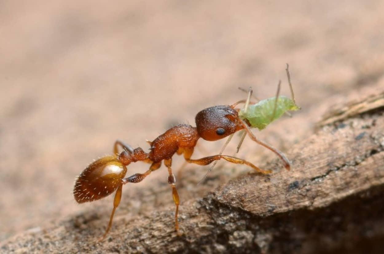 アリの寿命を延ばす寄生虫