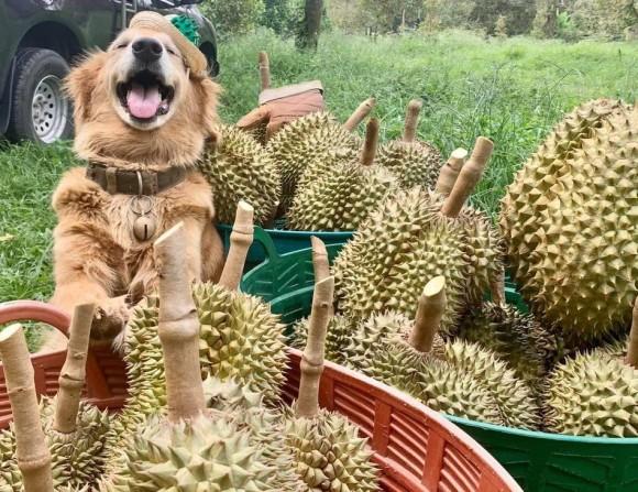 最高の笑顔のゴールデンレトリバー、ドリアン農場のお手伝い