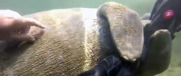モフモフしてぇ!人懐こいマナティがダイバーの脚にしがみついてあふん。