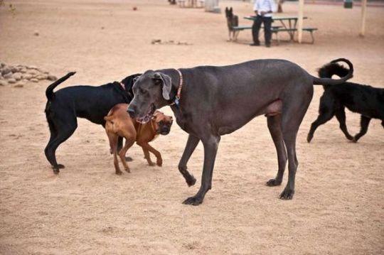 Worlds_Tallest_Dog_11
