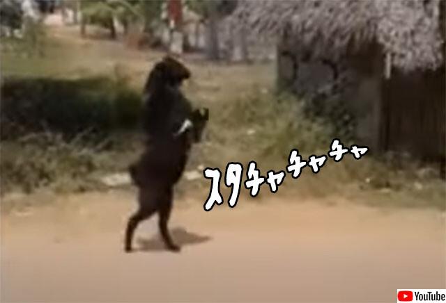 二足歩行出歩く山羊