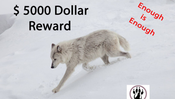 白いオオカミを撃ったのは誰だ!?懸賞金がかけられ犯人探しが始まった(アメリカ・イエローストーン)