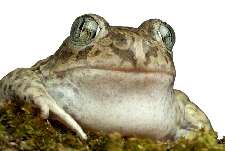 カエルのメス、種の垣根を超えた禁断の愛を求める(米研究)