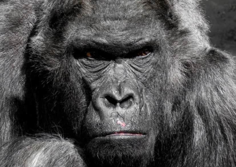 gorilla_e