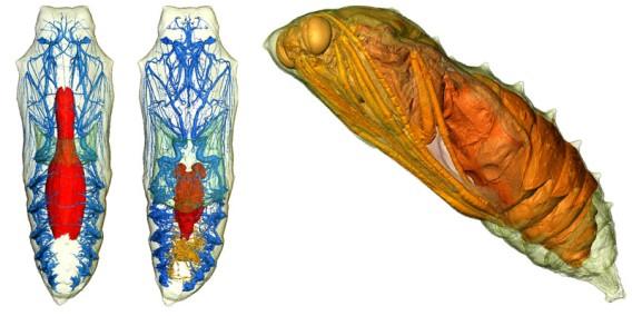 蛹から蝶への完全変態(メタモルフォーシス)がマイクロCTの3Dスキャンで明らかに
