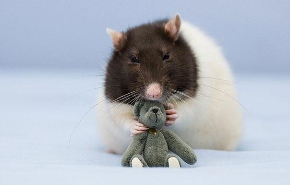 rats-with-teddy-bears-jessica-florence-6_e
