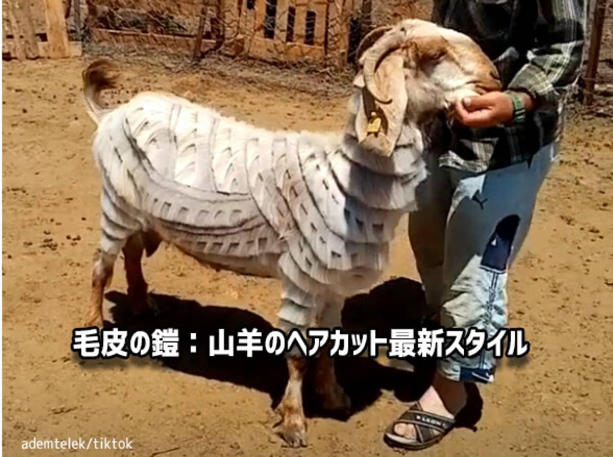 山羊(ヤギ)の斬新なヘアカット