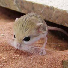 PygmyJerboa