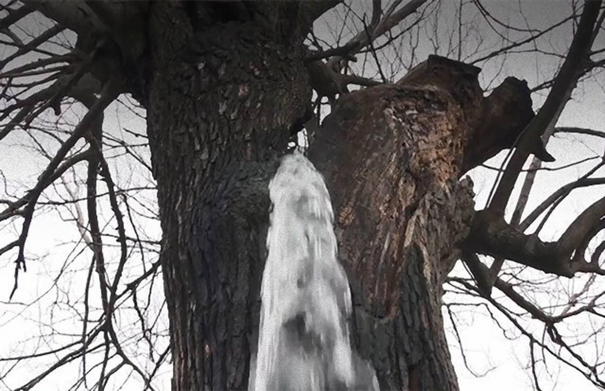 水が湧き出る桑の木