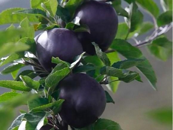リンゴなのに真っ黒。幻の黒いリンゴ「ブラック・ダイヤモンド」は本当に存在するのか?(チベット)