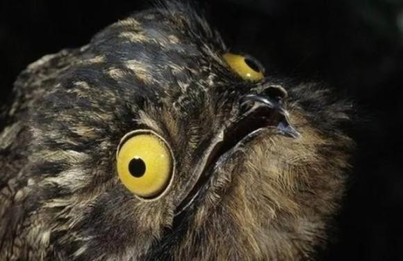 キャラ立ちがすごすぎて一度見たら忘れられない怪鳥「タチヨタカ」に関する10の事実