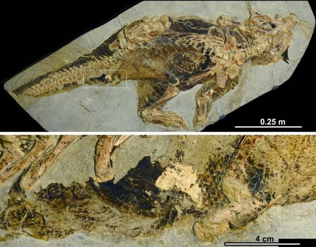 プシッタコサウルスの標本