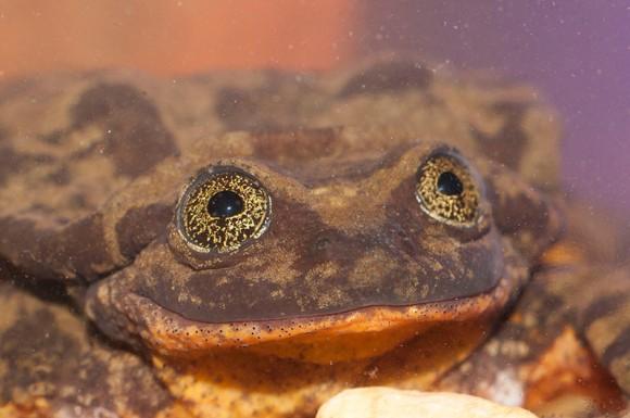 銀河のような目を持つカエルのロミオ。種最後の生き残りと考えられていたが10年後、ついにジュリエットと巡り合える