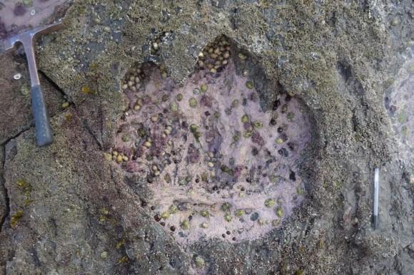 スコットランドで世界最大級の恐竜の足跡が発見される。
