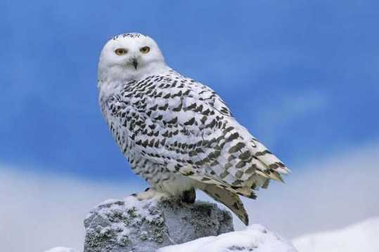 Snowy-Owl-