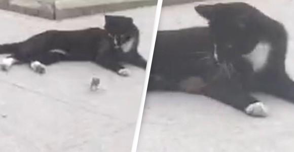 猫に追われていたネズミ、猫の懐にダイブ
