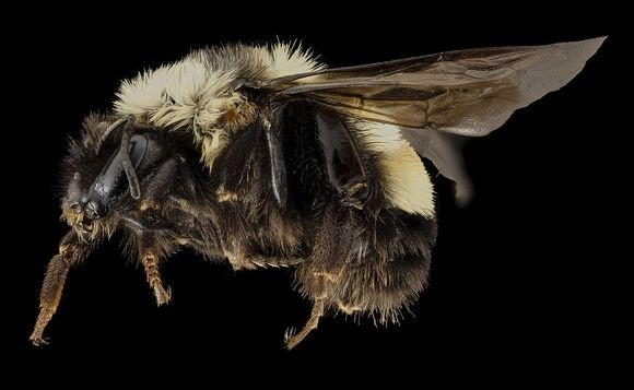 bumble-bee_public-domain