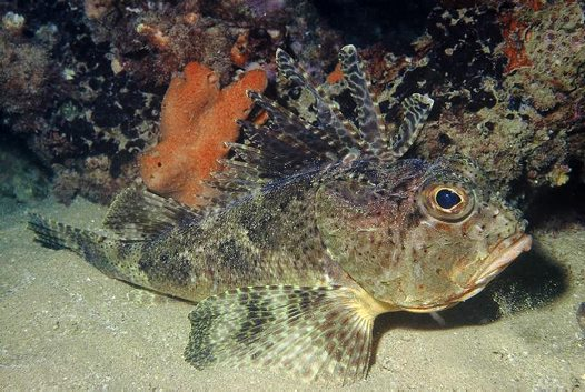 bighead gurnard perch_big