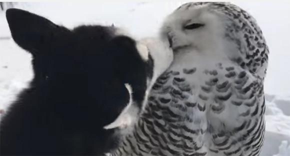 異種だけどらぶりんちょ。しばらくは、ハスキー犬とシロフクロウのイチャイチャちゅっちゅをご覧ください
