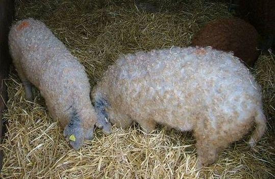 sheep_pigs_06