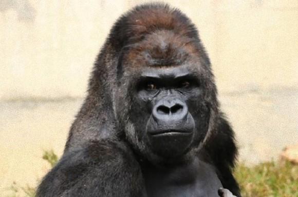 愛知県名古屋市の東山動植物園のゴリラ、シャバーニ氏(19)のイケメンマッチョぶりが噂となり、日本女性を虜にしたのは今年春くらいのことだ。そして今、 シャバーニ氏