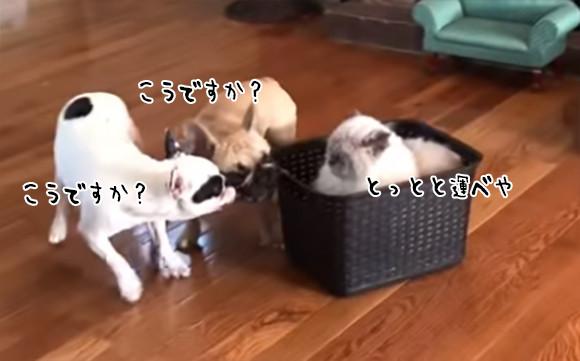 何様かと思えば猫様だった。バスケットにどっしり鎮座し2匹の犬を車夫として使役する猫
