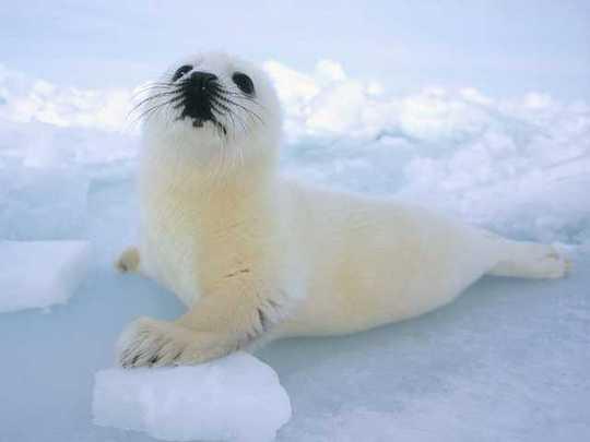 harp-seals-