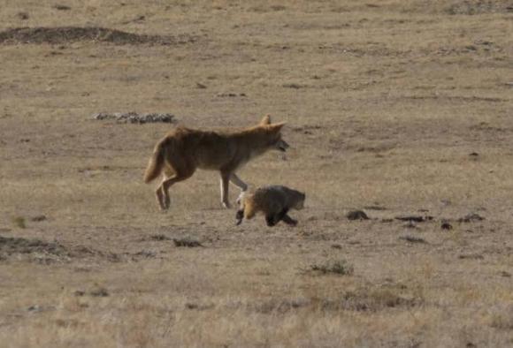 捕食獣のコヨーテ、餌であるはずのアナグマとタッグを組んだ?目的の為なら昨日の敵が今日の友となる瞬間を激写